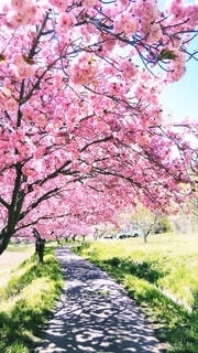 桜並木の散歩道の写真・画像素材[4242805]