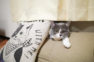 家族,猫,動物,屋内,白,カーテン,ねこ,ペット,クッション,隙間,リラックス,癒し,ソファ,まったり,カメラ目線,ブリティッシュショートヘア,くつろぎ,ふてくされ,ネコ科,ネコ,可愛い猫,おうち時間,猫柄のクッション,並ぶ猫,こっちを見る猫,ソファと猫,カーテンの間,隙間に入る猫