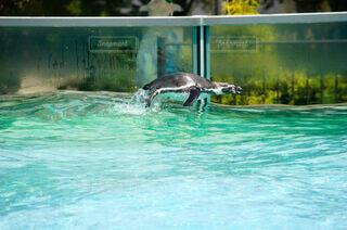 飛び跳ねるペンギンの写真・画像素材[4084828]
