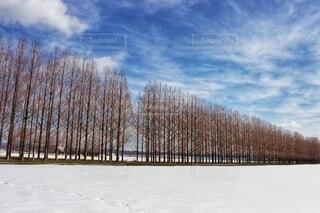 空,雪,屋外,雲,晴天,雪景色,樹木,快晴,日中,メタセコイヤ