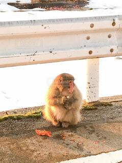 道中にて野生の猿に遭遇の写真・画像素材[4094153]
