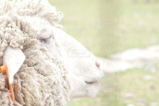 眠る羊の横顔の写真・画像素材[4095799]