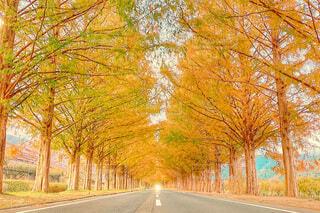 紅葉のメタセコイア並木の写真・画像素材[4099082]
