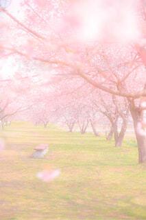 誰もいない桜並木の写真・画像素材[4309476]