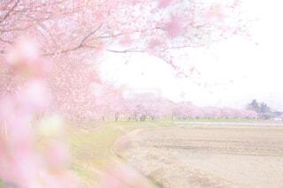 桜並木の写真・画像素材[4309489]