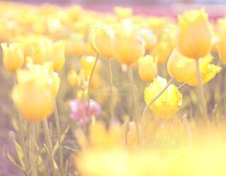 お花畑のチューリップの写真・画像素材[4309535]