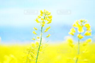 菜の花の写真・画像素材[4320241]