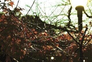 雨上がりに街灯のひかりで煌めく水滴の写真・画像素材[4097010]