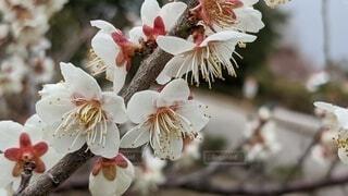 花,草木,白梅,ブルーム,フローラ,笠戸島