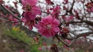 花,春,屋外,草木,紅梅,ブルーム,ブロッサム,フローラ,笠戸島