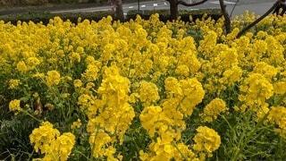 花,黄色,菜の花,草木,フローラ,笠戸島