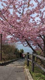 空,花,春,屋外,樹木,河津桜,さくら,笠戸島
