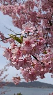 花,春,花束,河津桜,草木,桜の花,さくら,ブルーム,ブロッサム,笠戸島