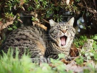 あくびをする猫の写真・画像素材[4099374]