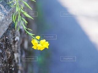 自然,花,春,屋外,植物,黄色,一輪,菜の花,コピースペース,クローズアップ,草木,バックグラウンド,早春,背景素材,菜花