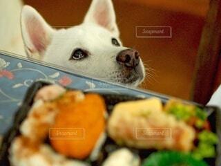犬,動物,お弁当,リビング,屋内,部屋,いぬ,和犬,見つめる,コピースペース,日本犬,イヌ,信頼