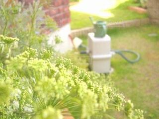 花,春,夏,庭,屋外,緑,ガーデニング,園芸,明るい,趣味,家庭,ライフスタイル,住まい,おしゃれ,ガーデン,庭先,レースフラワー,日当たり