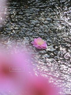 花,ピンク,梅,水面,癒し,紅梅,二月