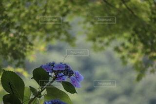花,緑,紫陽花,新緑,草木,煌めき