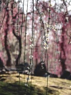 花,春,京都,梅,光,美しい,陽射し,草木,輝き,白梅,梅苑,城南宮,枝下梅,梅シャワー