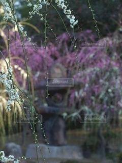 自然,花,京都,赤,白,梅,綺麗,美しい,灯篭,白梅,梅苑,城南宮,石灯篭,枝下梅