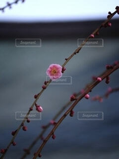 花,京都,ピンク,梅,一輪,可愛い,清楚,草木,紅梅,ブロッサム,城南宮,枝下梅