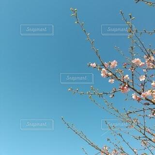 空,桜,屋外,ピンク,青空,爽やか,樹木