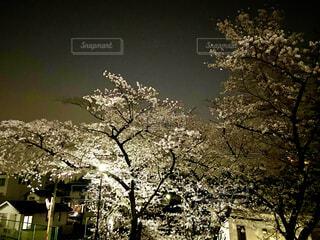 光に照らされた桜の写真・画像素材[4293901]