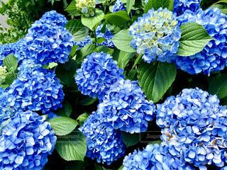 梅雨に心地良く咲く紫陽花の写真・画像素材[4573043]