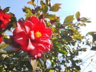 バラ,薔薇,樹木,ブロッサム,フローラ