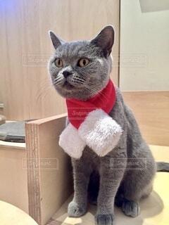 マフラーをしている猫の写真・画像素材[4112784]