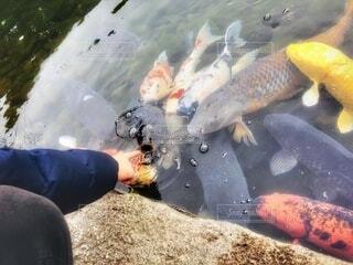 指を出したら、エサだと勘違いした鯉が大量発生の写真・画像素材[4185343]