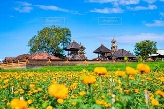 畑の中のオレンジ色の花の写真・画像素材[4150265]