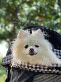 犬,動物,ポメラニアン,白,かわいい,樹木,ペット,眩しい,お散歩中