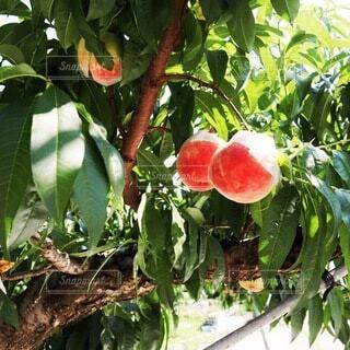 食べ物,緑,フルーツ,果物,樹木,美味しい,新鮮,桃,食材,草木,桃狩り,ガーデン,モモ,ピーチ,果樹,自然食品