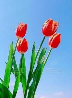 花,春,チューリップ,野外,草木