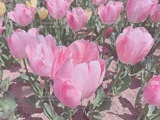 花,ピンク,バラ,花びら,薔薇,野外,草木,ブルーム,フローラ