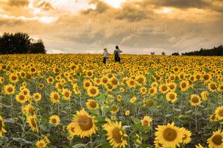 ひまわり畑の写真・画像素材[4112055]