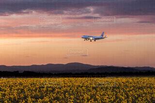 女満別空港のひまわり畑の写真・画像素材[4188195]