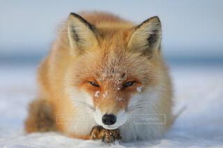 自然,冬,動物,野生動物,北海道,キツネ,狐,哺乳類,野生生物,キタキツネ,きつね,フォックス,インスタ映え,哺乳動物,レッドフォックス