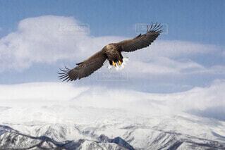 空,冬,動物,鳥,雪,屋外,雪山,山,知床,知床連山,鷲,羅臼,ネイチャークルーズ,猛禽類,ファルコン,飛翔,オジロワシ,インスタ映え,イーグル,知床らうす,尾尻鷲,流氷クルーズ