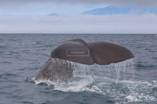 空,動物,屋外,水面,知床,鯨,クジラ,ホエールウォッチング,羅臼,ネイチャークルーズ,鯨類,ダイブ,世界自然遺産,インスタ映え,ホエール,マッコウクジラ,根室海峡,知床らうす,クジラウォッチング