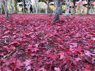秋,紅葉,屋外,葉,もみじ,北海道,落ち葉,樹木,絨毯,モミジ,ノムラモミジ,赤い絨毯,インスタ映え
