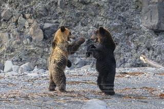 動物,野生動物,屋外,北海道,地面,知床,知床半島,ヒグマ,羅臼,じゃれあい,野生生物,クマ,インスタ映え,羆,知床らうす,ヒグマウォッチング
