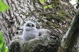 動物,鳥,屋外,かわいい,北海道,樹木,可愛い,ふくろう,梟,野鳥,猛禽類,雛,巣立ち,猛禽,フクロウ,樹洞,インスタ映え,エゾフクロウ,エゾフクロウの雛,フクロウの雛,エゾフクロウの巣立ち,フクロウの巣立ち