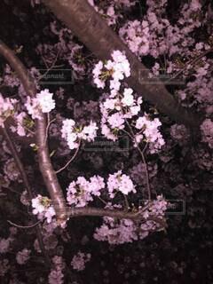 夜桜の写真・画像素材[4290796]