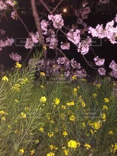 菜の花に届く桜の枝の写真・画像素材[4293994]