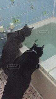 バスルーム,子猫,壁,黒猫,浴槽,探す
