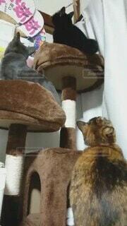 猫,動物,屋内,室内,キャットタワー