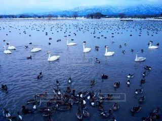 白鳥が集う冬の湖の写真・画像素材[4121073]